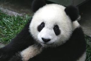 panda-649938_960_720